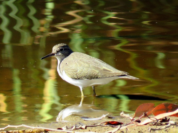 Common Sandpiper AV