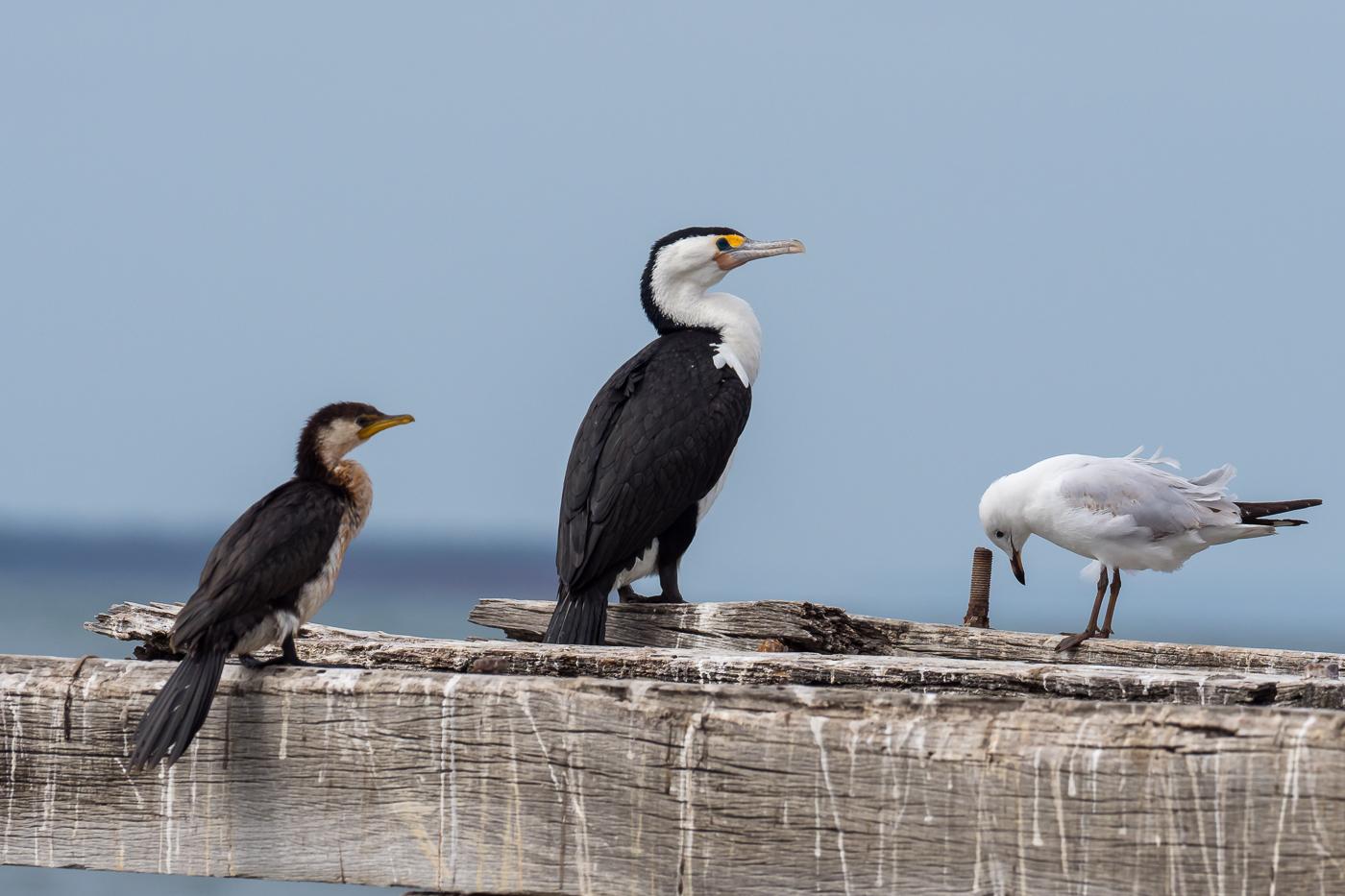 Cormorants and Gull - Bevan Hood
