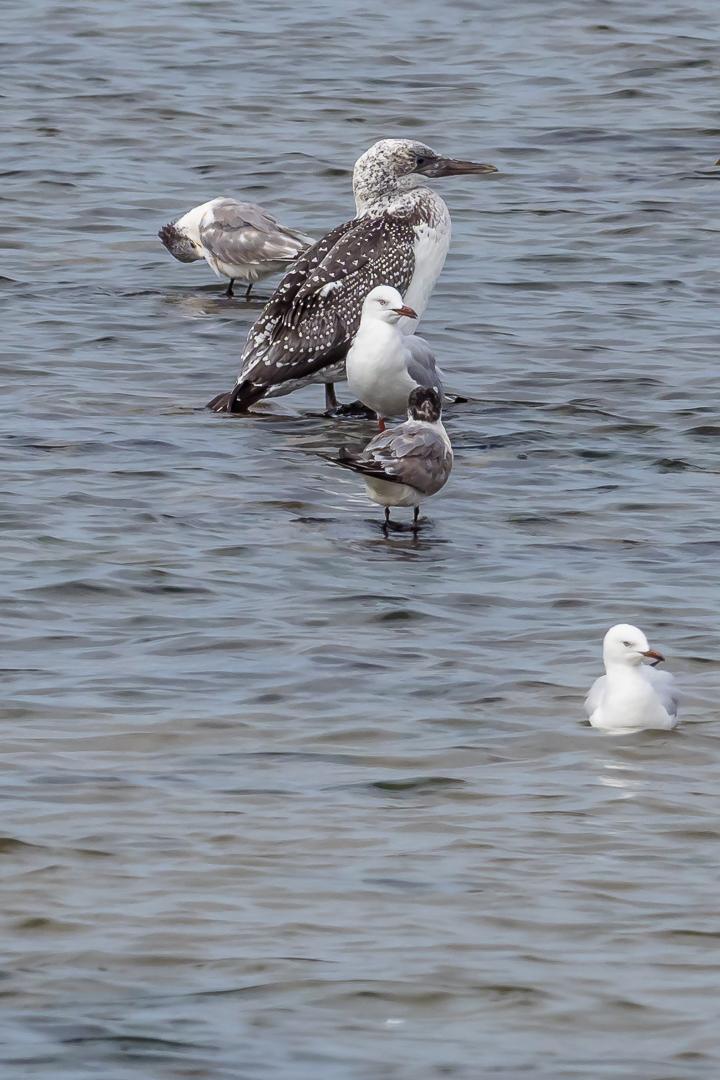 Gannet - Gull - Tern - Bevan Hood