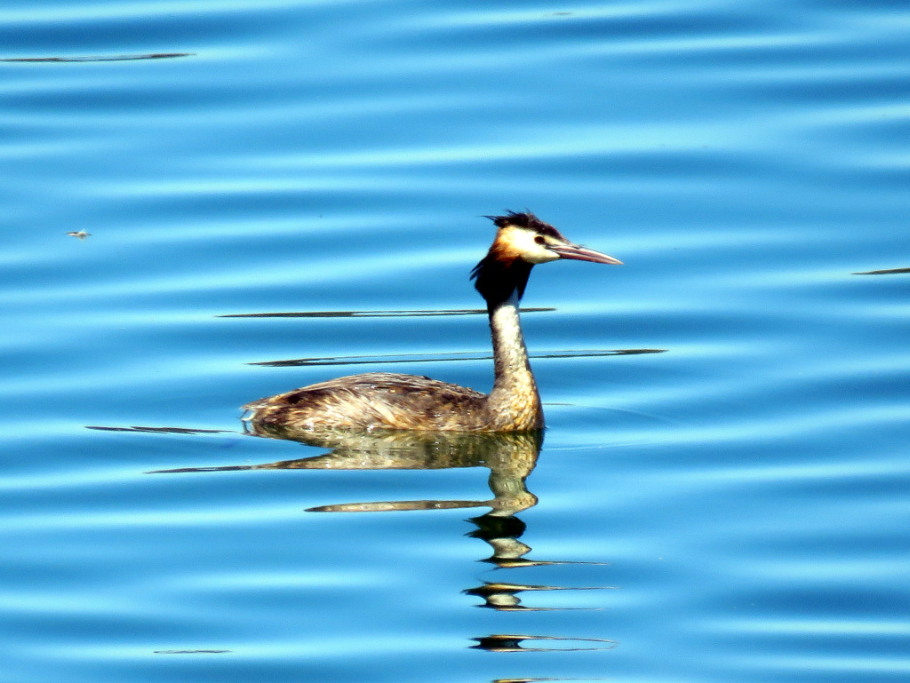 Great Crested Grebe AV
