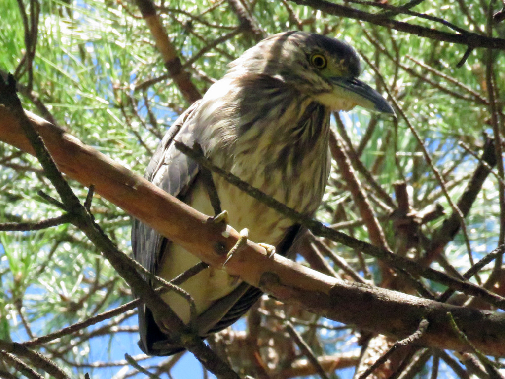 Juvenile Nankeen Night Heron AV