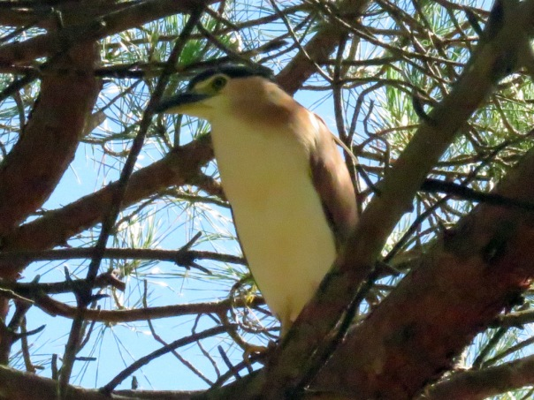 Nankeen Night Heron AV