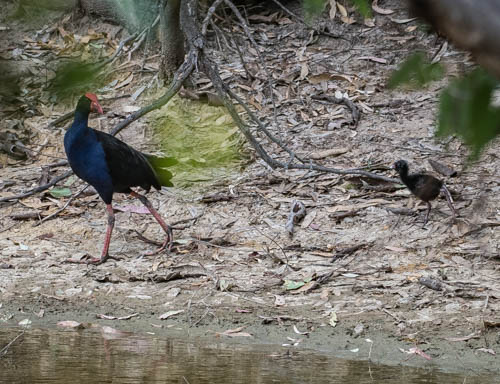 Purple Swamphen and chick - Graeme Dean