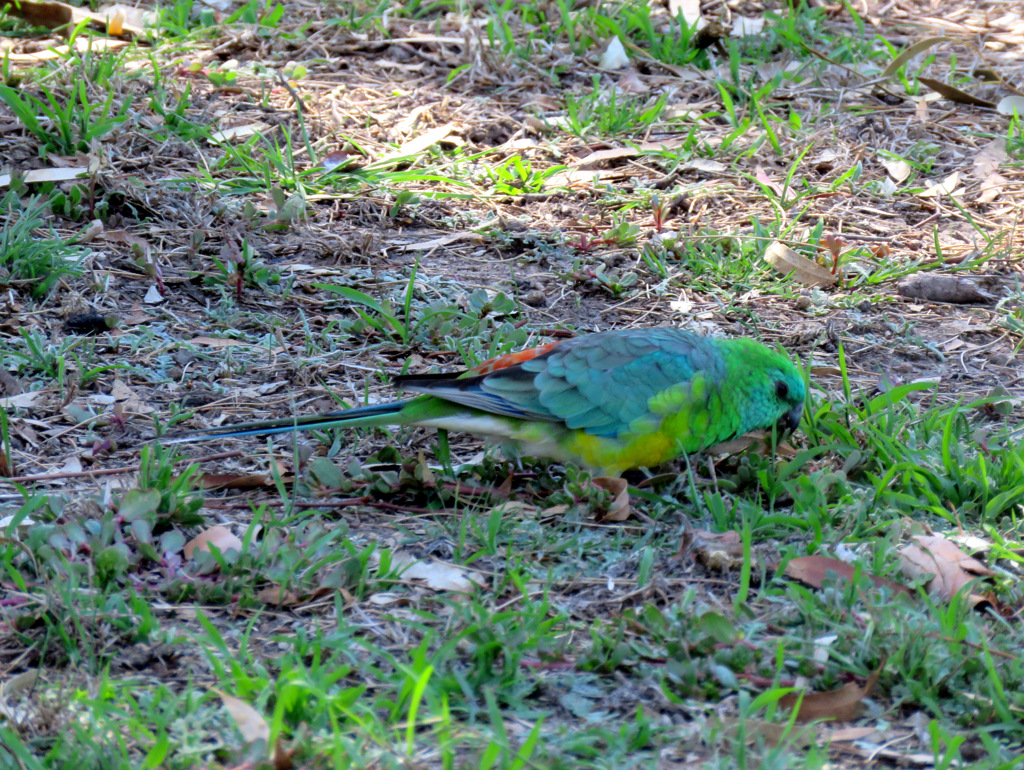Red-rumped Parrot (m) AV