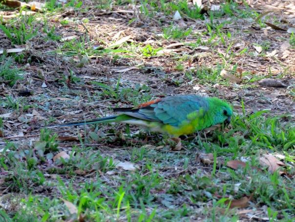 Red-rumped Parrot (m) AV