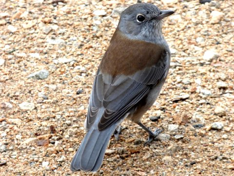 Grey Shrike-thrush - Katmun Loh