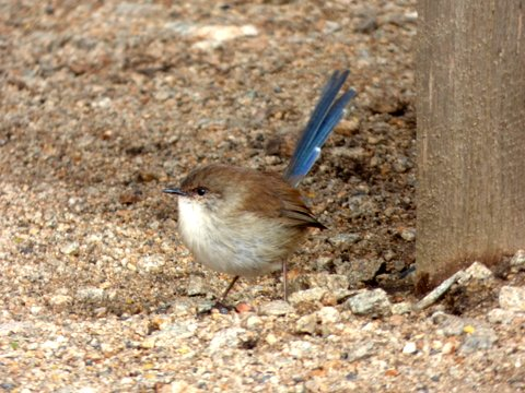 Superb Fairy-wren, male in eclipse plumage - Katmun Loh