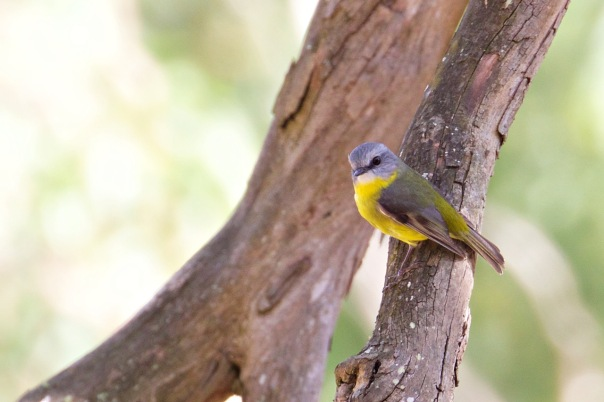 Eastern Yellow Robin, The Briars