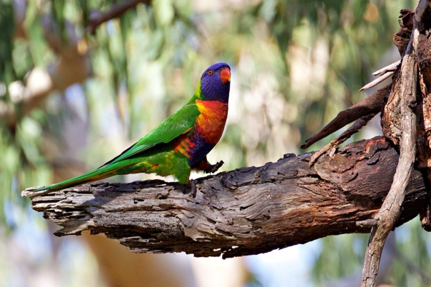 Rainbow Lorikeet, The Briars