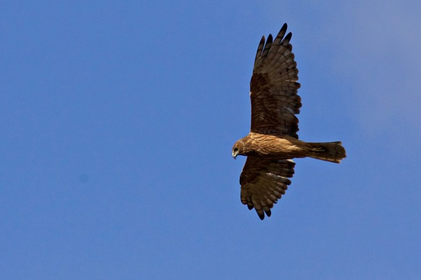Swamp Harrier, The Briars
