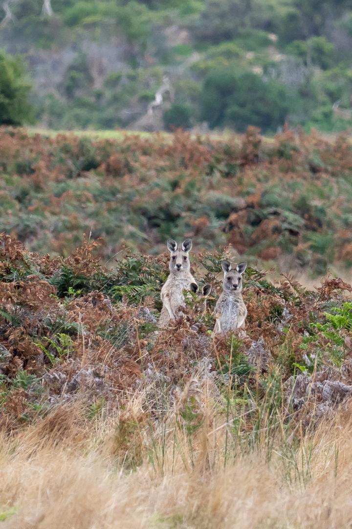 Eastern Grey Kangaroo - Bevan Hood