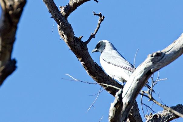 Black-faced Cuckoo-shrike, Woodlands