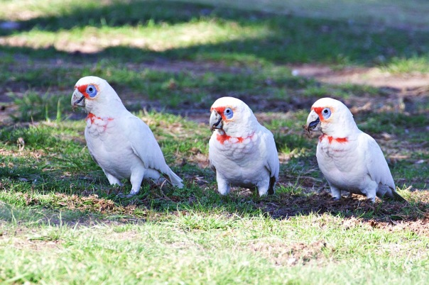 Long-billed Corellas, Woodlands