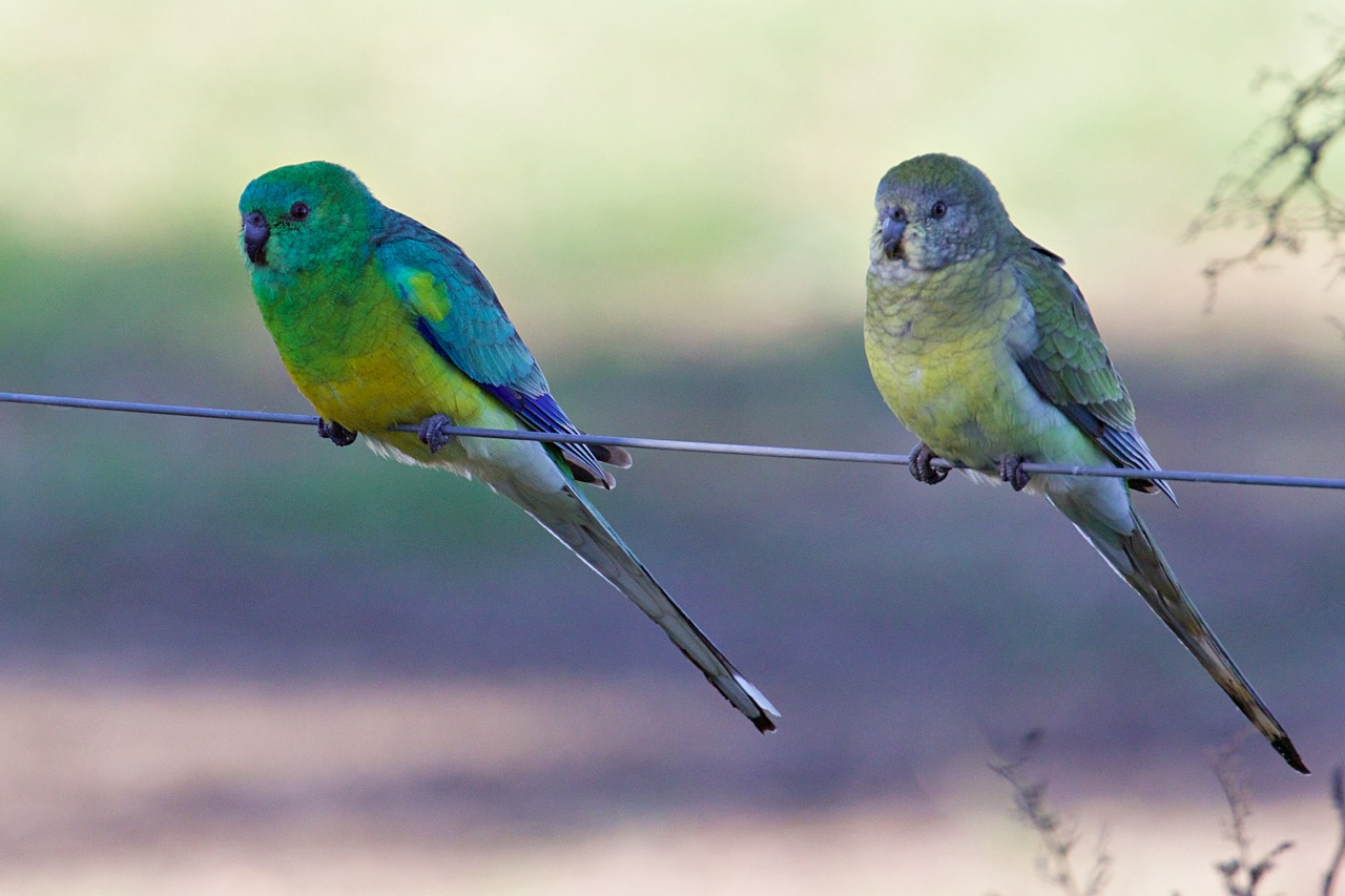 Red-rumped Parrots (M and F), Woodlands