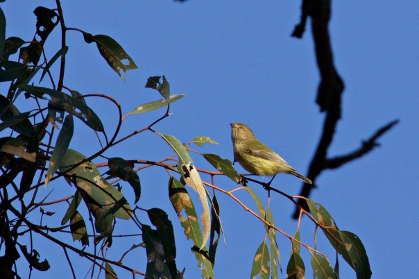 Weebill, Woodlands