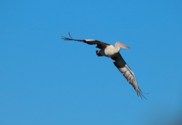 Australian Pelican - Danika Sanderson