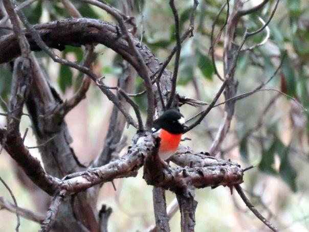 AV-Scarlet Robin-IMG_6619