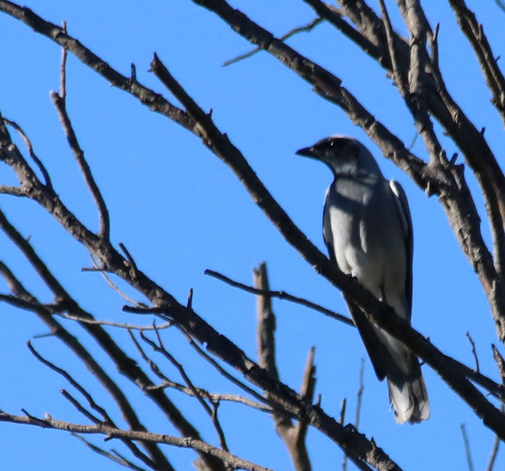 Black-faced Cuckoo-shrike - Danika Sanderson