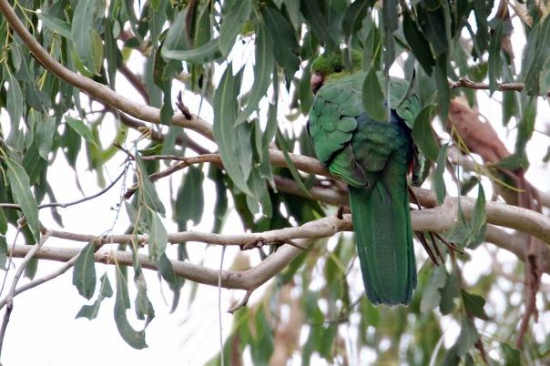 King Parrot (F), Shepherds Bush