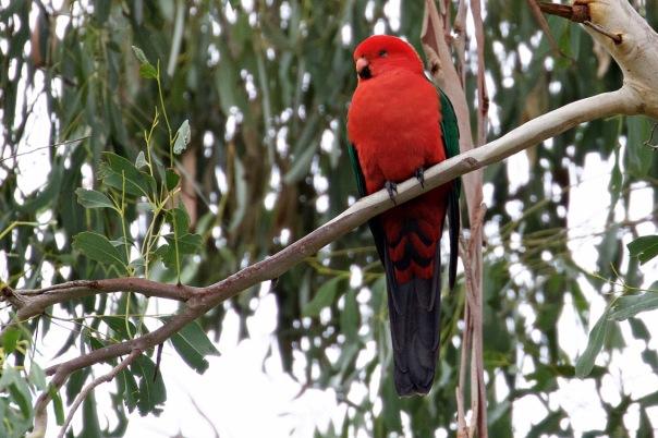 King Parrot (M), Shepherds Bush