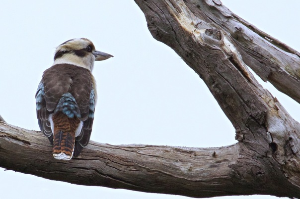Laughing Kookaburra, Shepherds Bush