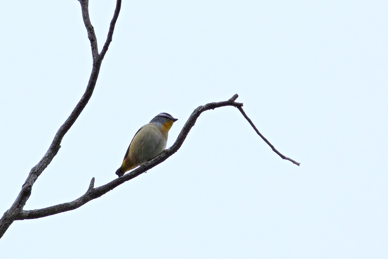 Spotted Pardalote, Shepherds Bush