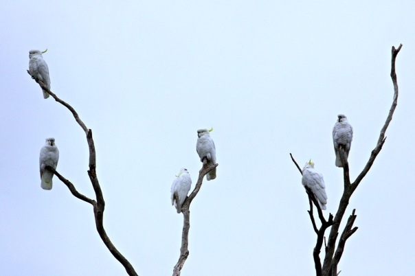 Sulphur-crested Cockatoos, Shepherds Bush