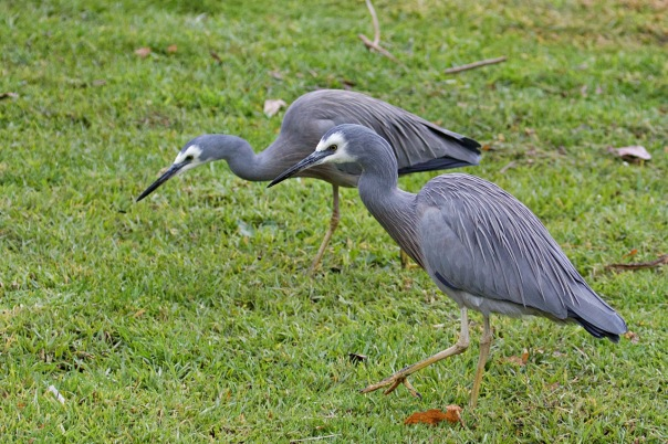 White-faced Herons, Shepherds Bush