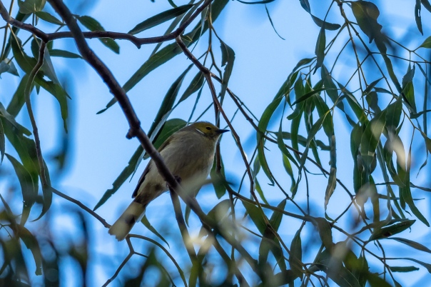 White-plumed Honeyeater - bevan hood