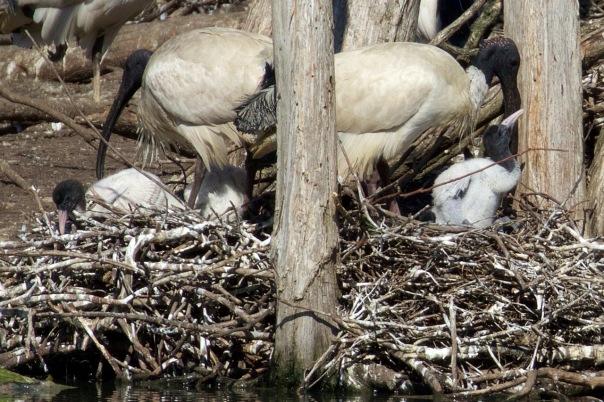 Australian White Ibis, Jells Park