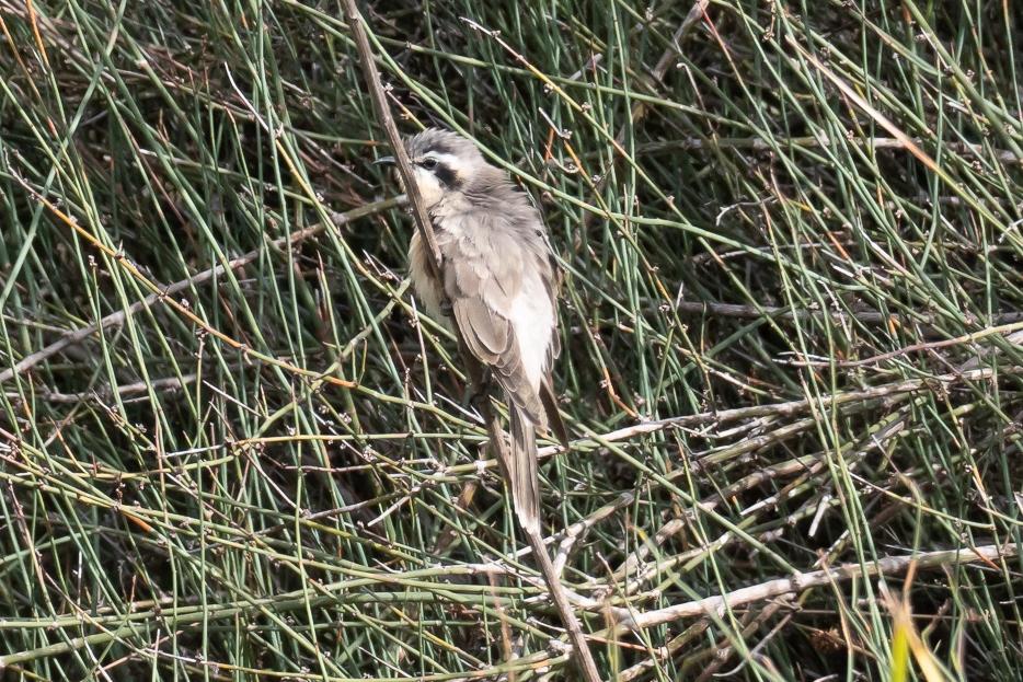 Black-eared Cuckoo - Bevan Hood