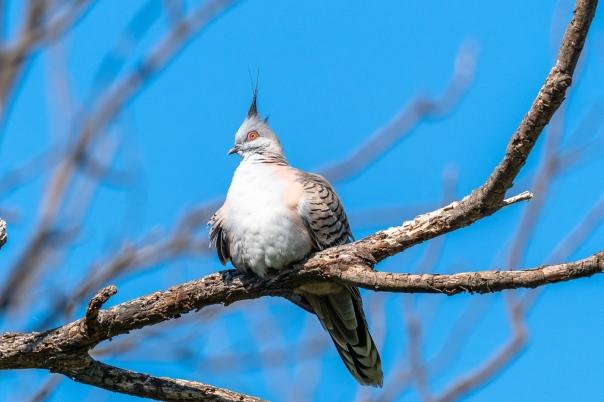 Crested Pigeon - Bevan Hood