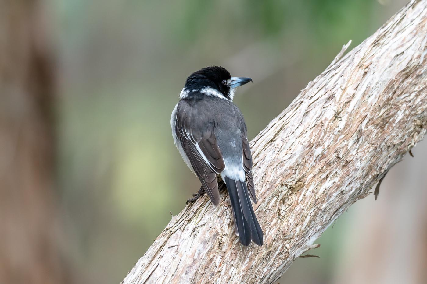 Grey Butcherbird - Bevan Hood