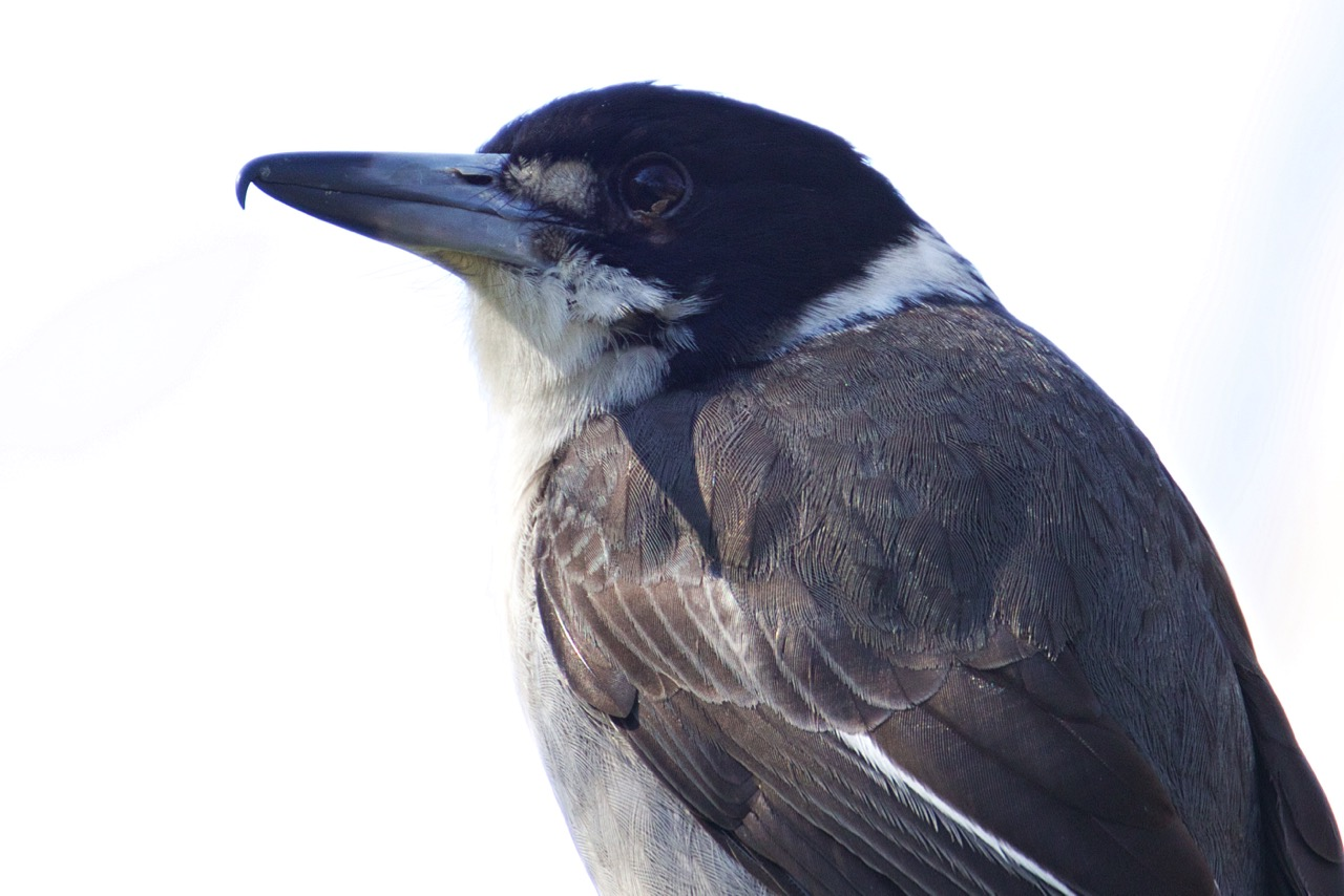 Grey Butcherbird, Jells Park