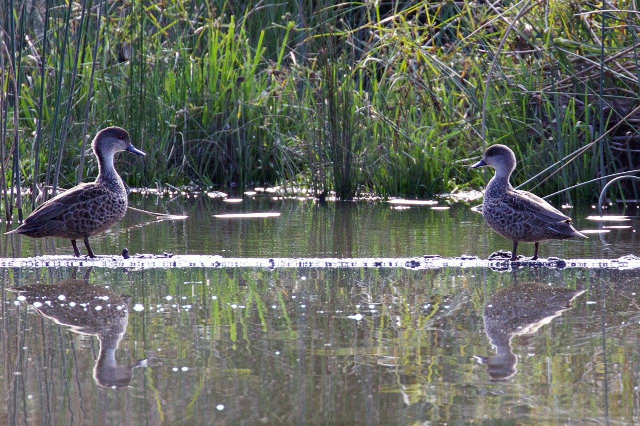 Grey Teal - Eleanor Dilley