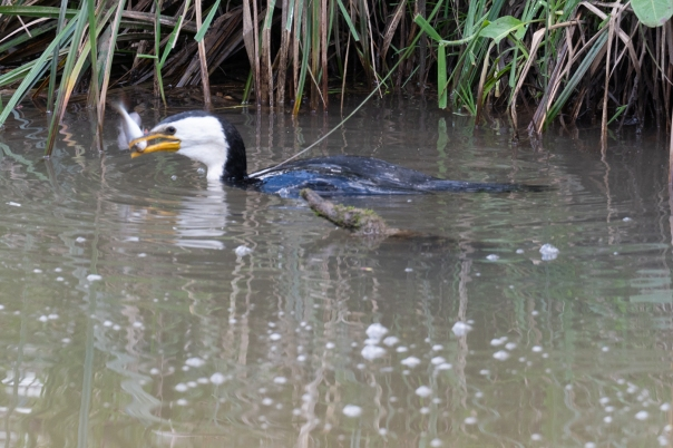 Little Pied Cormorant with fish - Bevan Hood