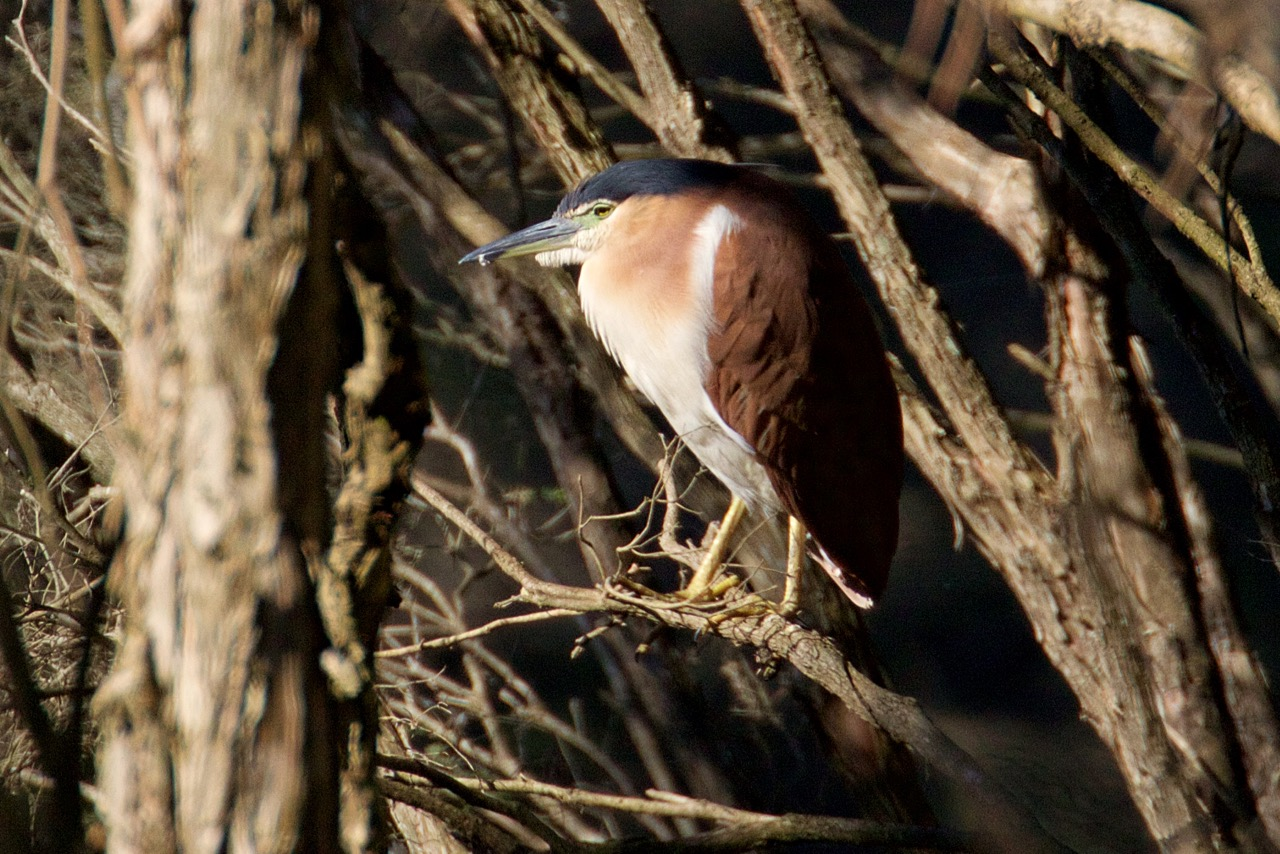 Nankeen Night-Heron, Jells Park