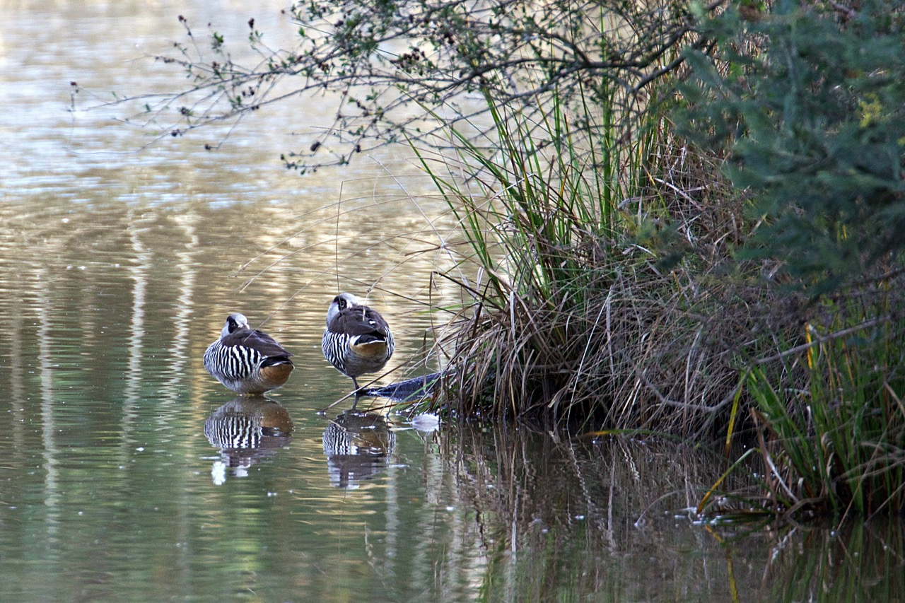 Pink-eared Duck, Lillydale Lake