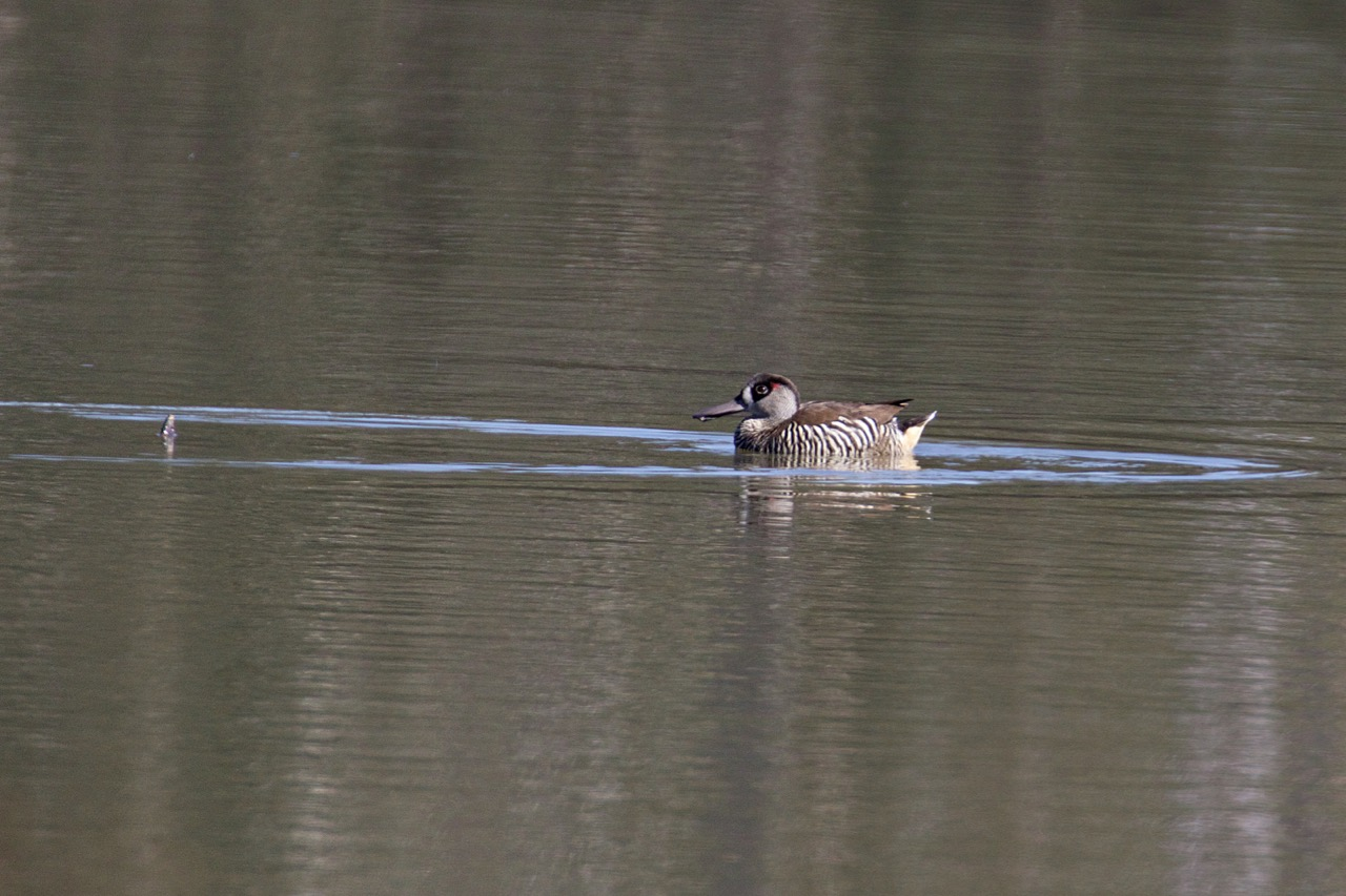 Pink-eared Duck, Jells Park