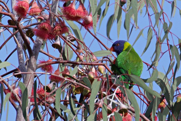 Rainbow Lorikeet, Lillydale Lake