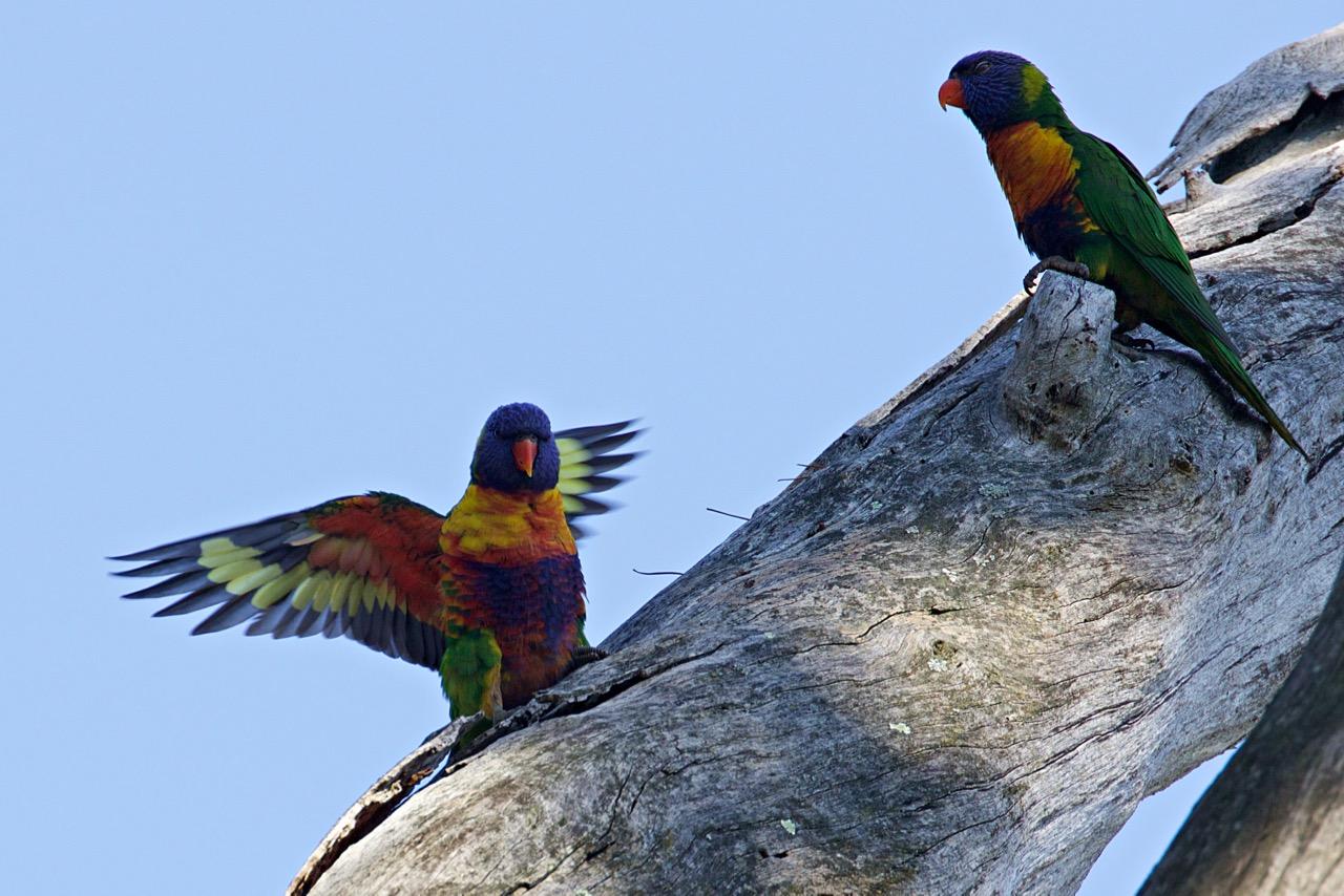 Rainbow Lorikeets, Jells Park