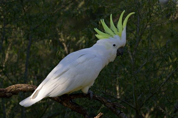 Sulphur-crested Cockatoo, Jells Park