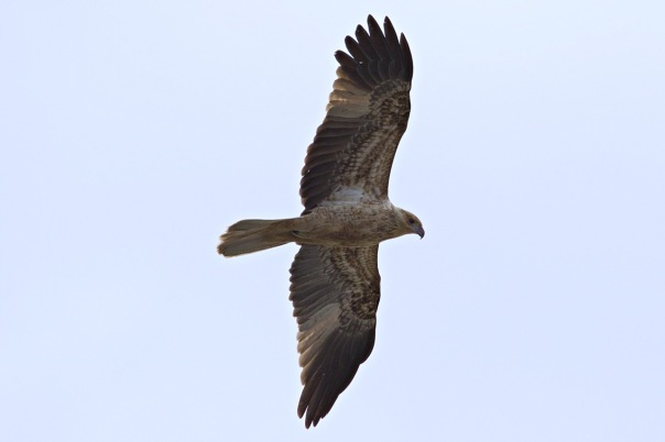 Whistling Kite, Lillydale Lake