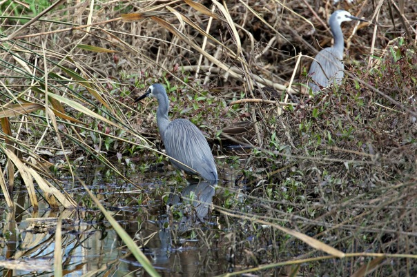 White-faced Herons, Lillydale Lake