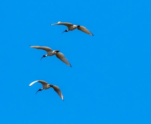 Australian White Ibis - B Hood