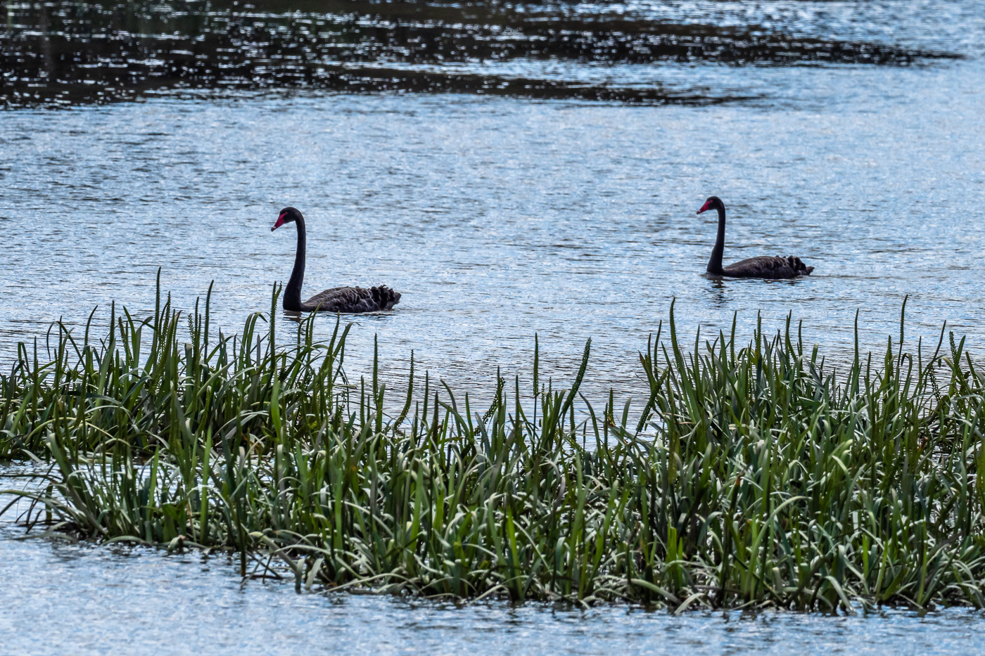 Black Swan - B Hood