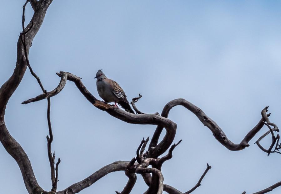 Crested Pigeon - B Hood