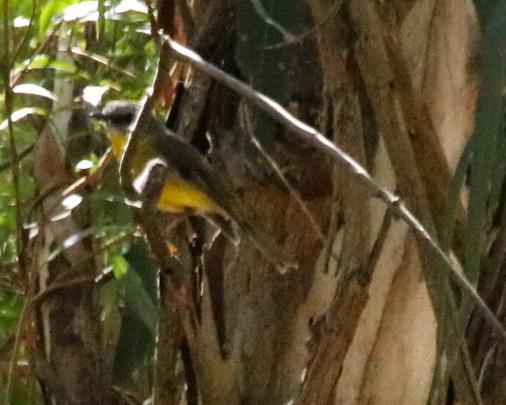 Eastern Yellow Robin - D Sanderson