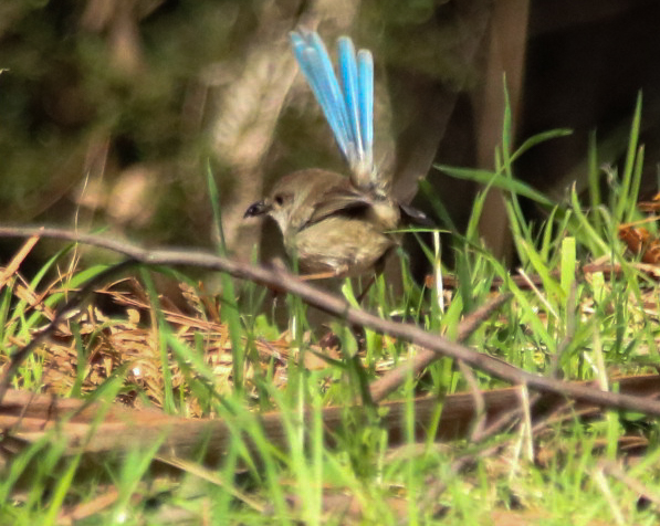 Male Superb Fairy-wren in eclipse plumage - Danika Sanderson