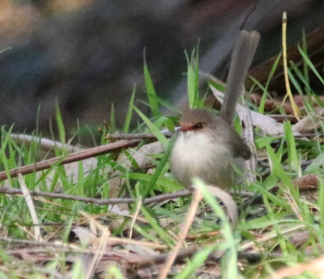 Superb Fairy-wren female - D Sanderson